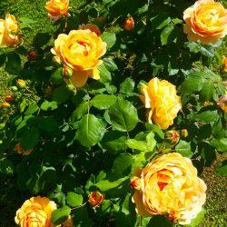 sesonrose-giardino-003