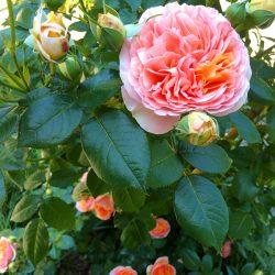 sesonrose-giardino-009