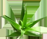 Aloe Vera Se Son Rose